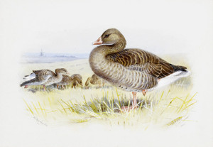 Art Prints of Greylag Goose by Archibald Thorburn
