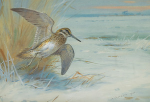 Art Prints of Jack Snipe Rising by Archibald Thorburn