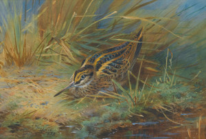 Art Prints of Jack Snipe by Archibald Thorburn