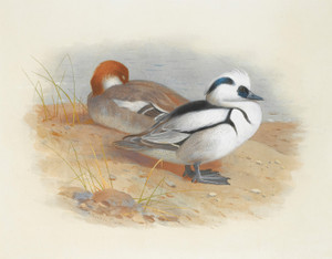 Art Prints of A Pair of Smew Duck by Archibald Thorburn