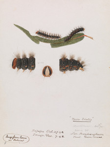 Art Prints of Caterpillar Epicoma Contristis Teara Tristis by Arthur Bartholomew