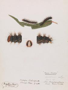 Art Prints of Caterpillar Epicoma Contristis Teara Tristis by Arthur Bartholomew