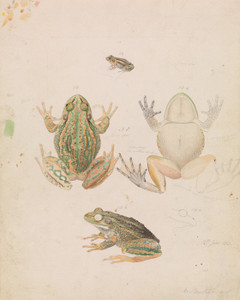 Art Prints of Growling Grass Frog or Litoria Raniformis by Arthur Bartholomew