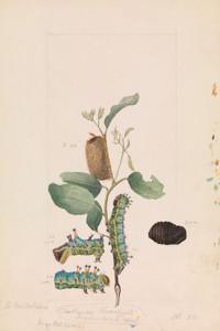 Art Prints of Emperor Gum Moth or Opodiphthera Eucalypti by Arthur Bartholomew
