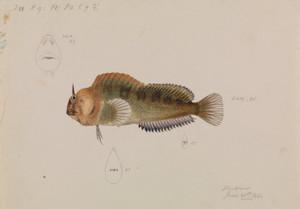 Art Prints of Tasmanian Blenny Parablennius Tasmanianus by Arthur Bartholomew