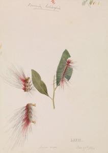 Art Prints of Rose Anthelid Chenuala Helispis by Arthur Bartholomew