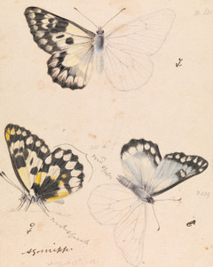 Art Prints of Wood White Butterfly or Delias Aganippe by Arthur Bartholomew