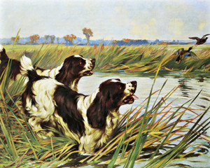 Art Prints of Springer Spaniels by Arthur Wardle