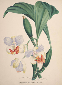 Art Prints of Aganisia, No. 77, Orchid Collection