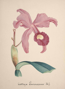Art Prints of Cattleya, No. 74, Orchid Collection