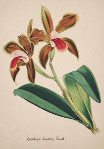 Art Prints of Cattleya, No. 36, Orchid Collection