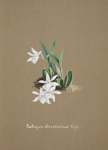 Art Prints of Coelogine, No. 20, Orchid Collection