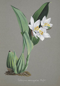 Art Prints of Coelogine, No. 51, Orchid Collection