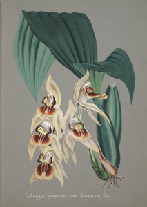 Art Prints of Coelogyne, No. 41, Orchid Collection