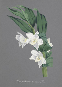 Art Prints of Dendrobium, No. 64, Orchid Collection