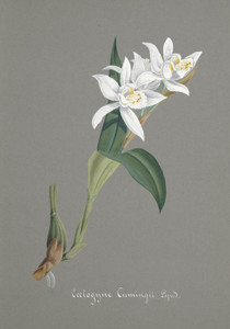 Art Prints of Coelogyne, No. 82, Orchid Collection