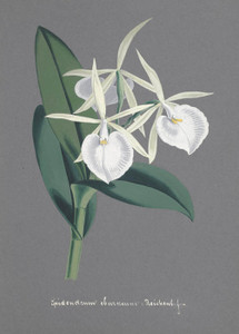 Art Prints of Epidendrum, No. 63, Orchid Collection