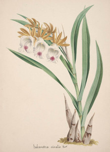 Art Prints of Galeandra, No. 8, Orchid Collection