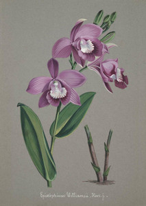 Art Prints of Epistephium, No. 40, Orchid Collection