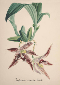 Art Prints of Paphinia, No. 83, Orchid Collection