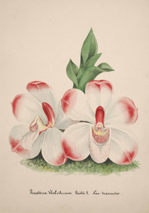 Art Prints of Pescatorea, No. 35, Orchid Collection