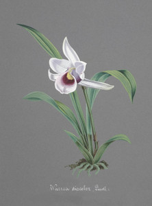 Art Prints of Warrea, No. 72, Orchid Collection