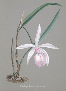 Art Prints of Cattleya, No. 11, Orchid Collection