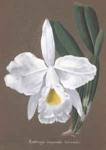 Art Prints of Cattleya, No. 17, Orchid Collection