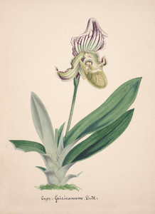 Art Prints of Cypripedium, No. 14, Orchid Collection