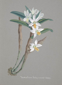 Art Prints of Dendrobium, No. 12, Orchid Collection