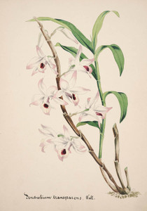 Art Prints of Dendrobium, No. 29, Orchid Collection