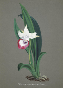 Art Prints of Warrea, No. 43, Orchid Collection