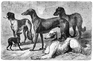 Art Prints of Greyhound Family by Vero Shaw