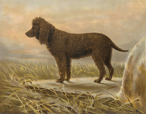 Art Prints of Water Spaniel by Vero Shaw