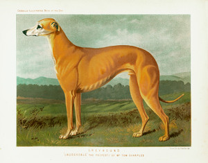 Art Prints of Greyhound by Vero Shaw