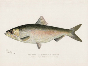 Art Prints of Alewife or Branch Herring by Sherman Foote Denton