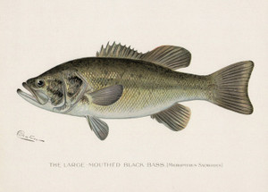 Art Prints of Large Mouth Bass by Sherman Foote Denton