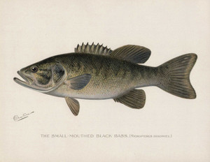 Art Prints of Small Mouth Bass by Sherman Foote Denton