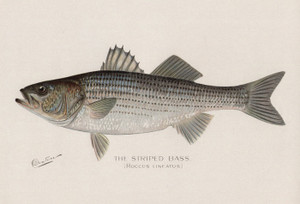 Art Prints of Striped Bass by Sherman Foote Denton
