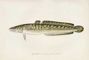 Art Prints of Burbot by Sherman Foote Denton