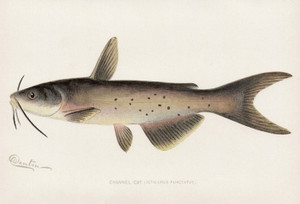 Art Prints of Channel Catfish by Sherman Foote Denton