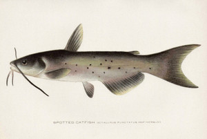 Art Prints of Spotted Catfish by Sherman Foote Denton