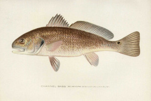 Art Prints of Channel Bass, Redfish by Sherman Foote Denton