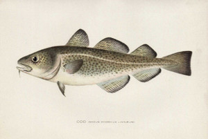 Art Prints of Cod by Sherman Foote Denton