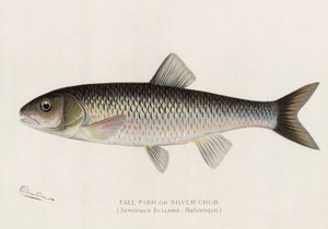 Art Prints of Fall Fish or Silver Chub by Sherman Foote Denton