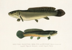 Art Prints of Dogfish and Mudfish or Grindle by Sherman Foote Denton