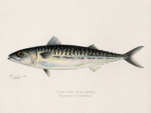 Art Prints of Common Mackerel by Sherman Foote Denton
