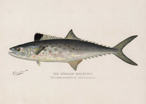 Art Prints of Spanish Mackerel by Sherman Foote Denton