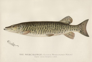 Art Prints of Mascalonge from Chautaqua Lake by Sherman Foote Denton