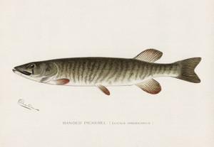 Art Prints of Banded Pickerel by Sherman Foote Denton